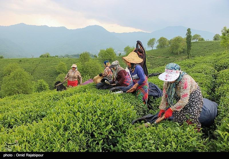 رئیس سازمان چای کشور: ۳۰ میلیارد تومان تسهیلات به چایکاران پرداخت میشود
