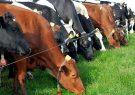 واردات دام سنگین کمکی به تنظیم بازارنمیکند