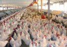 قیمت تمام شده تولید مرغ در حال حاضر حدود ۹۵۰۰ تومان است