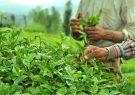 نرخ خرید تضمینی چای افزایش یافت