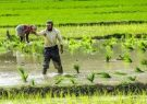 ۳ رقم جدید برنج معرفی شد