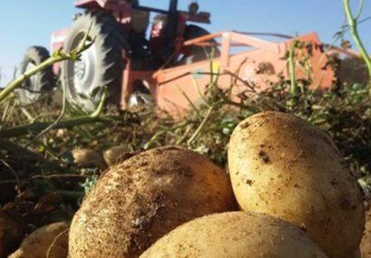 آسیب جدی به تولید ملی کشور با برداشت زودهنگام سیبزمینی