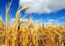 خروج دومیلیون تن گندم ازچرخه خریدتضمینی/قیمت کشاورزان رافراری داد