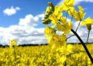 ایران در تولید بذر غلات خودکفا شده است