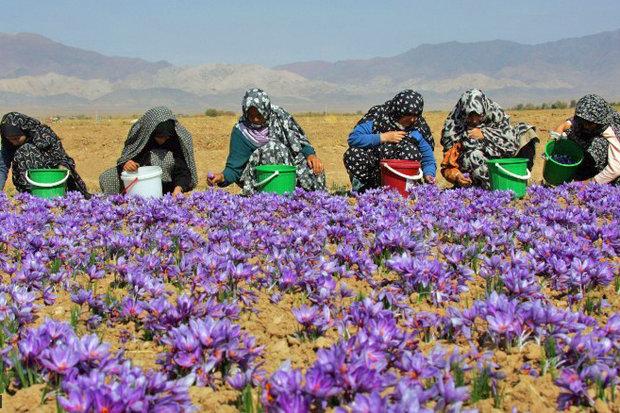 افت صادرات رسمی زعفران با افزایش قاچاق به افغانستان