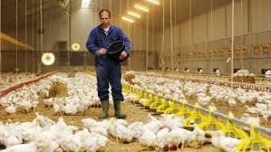 مرغداران مسئول گرانی مرغ هستند