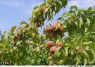۱۴ رقم جدید میوه تا پایان امسال معرفی میشود