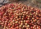 خرید توافقی انار مازاد باغداران