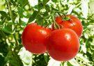 گوجهفرنگی ۱۷۱ درصد گران شد