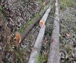 افزایش ۲۵ درصدی جریمه های قطع درختان