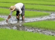 برای تداوم تولید داخلی، اجازه توزیع برنج خارجی را ندهید