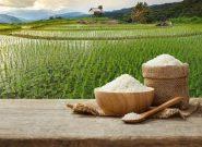 نیمی از محصول برنج استان گیلان برداشت شد